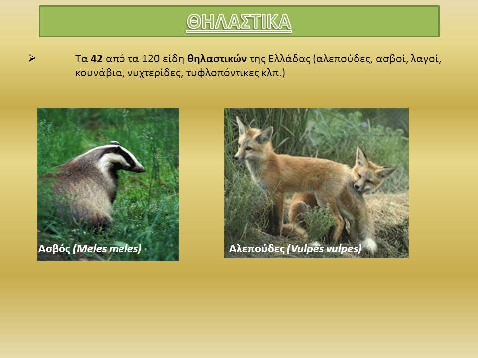 ΘΗΛΑΣΤΙΚΑ Τα 42 από τα 120 είδη θηλαστικών της Ελλάδας (αλεπούδες, ασβοί, λαγοί, κουνάβια, νυχτερίδες, τυφλοπόντικες κλπ.)