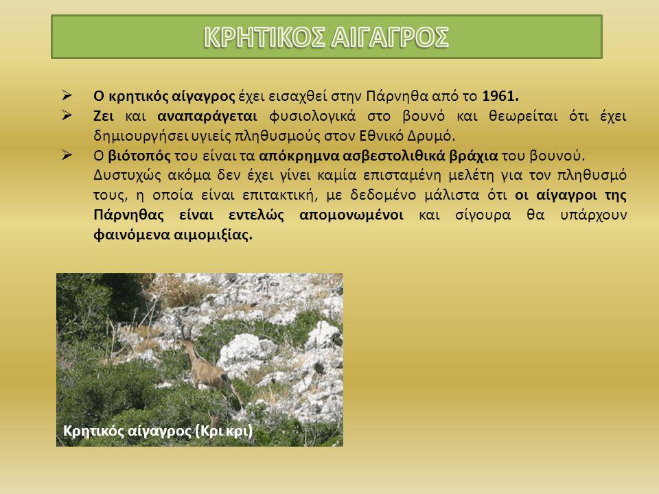 ΚΡΗΤΙΚΟΣ ΑΙΓΑΓΡΟΣ Ο κρητικός αίγαγρος έχει εισαχθεί στην Πάρνηθα από το 1961.