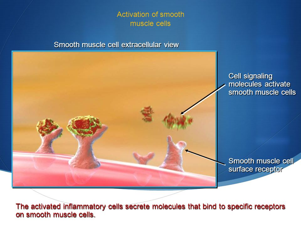 Activation of smooth muscle cells