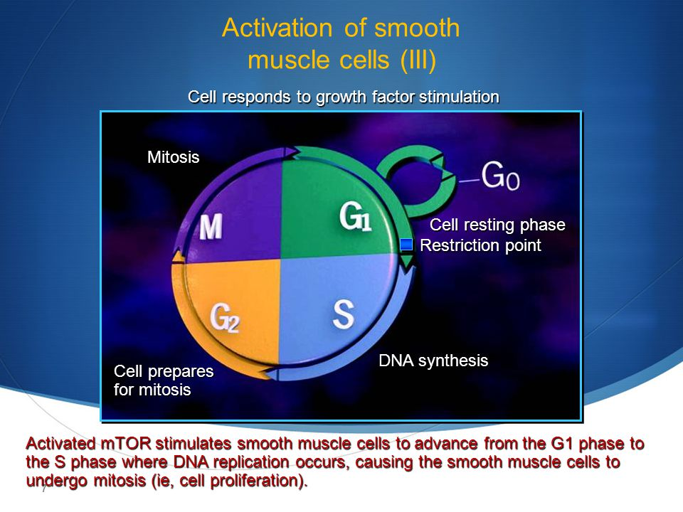 Activation of smooth muscle cells (III)
