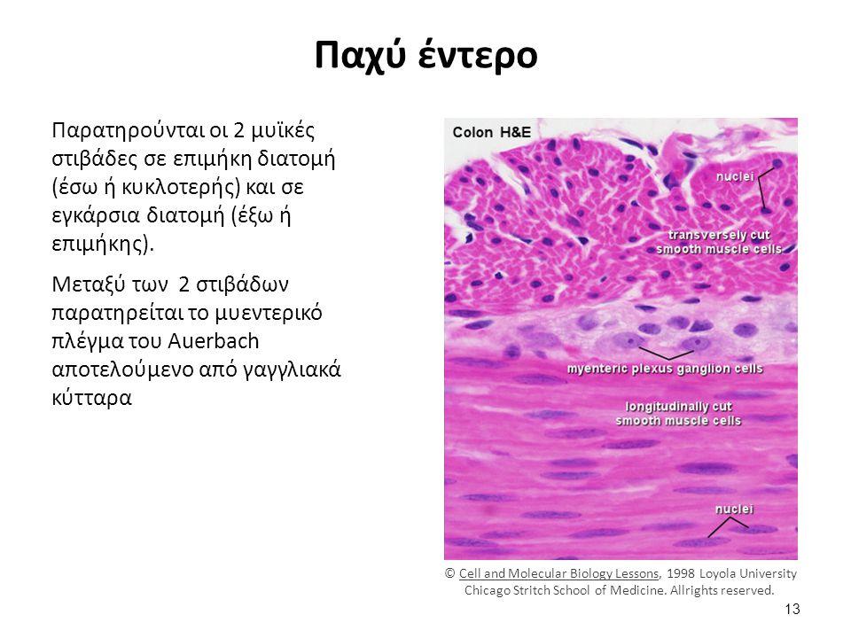 Ιστολογική εικόνα σκελετικών μυϊκών ινών