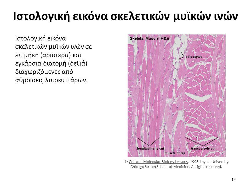 Μικροσκοπική δομή των γραμμώσεων του σκελετικού μυ
