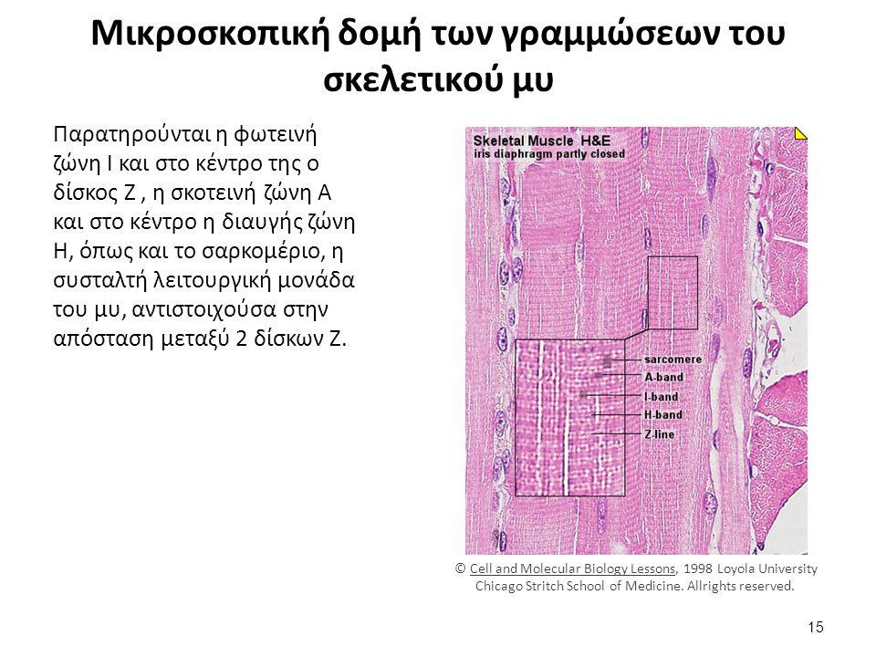 Ιστολογική εικόνα καρδιακών μυϊκών ινών