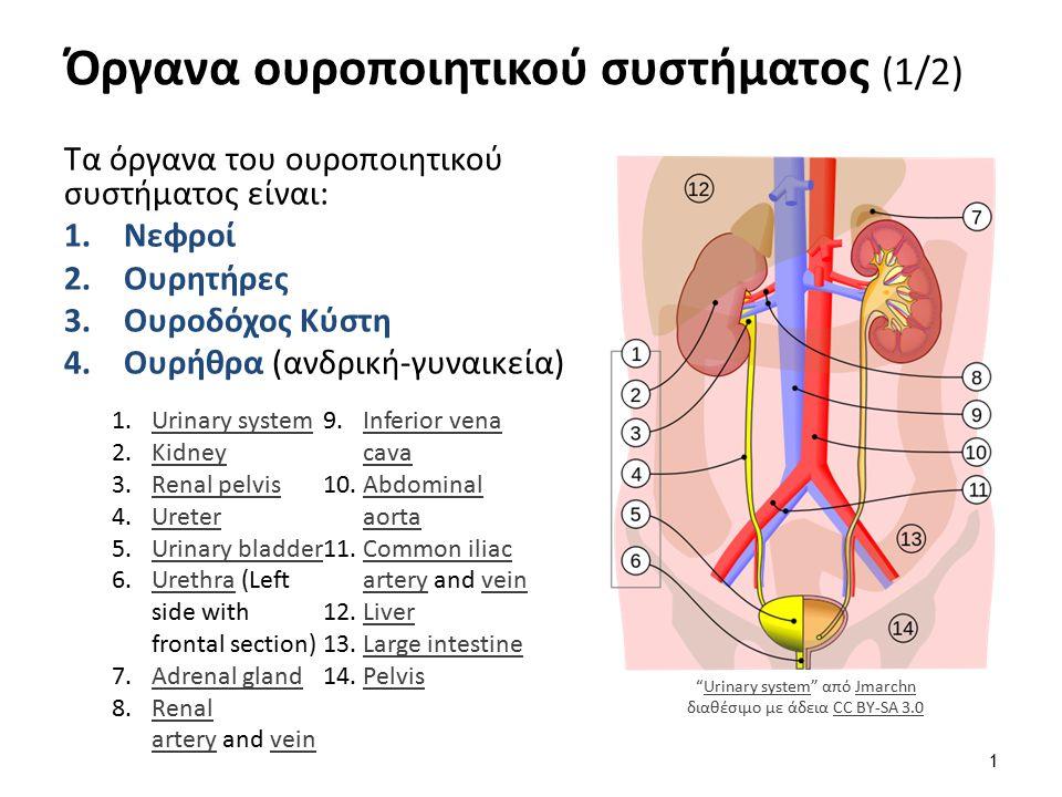 Όργανα ουροποιητικού συστήματος (2/2)