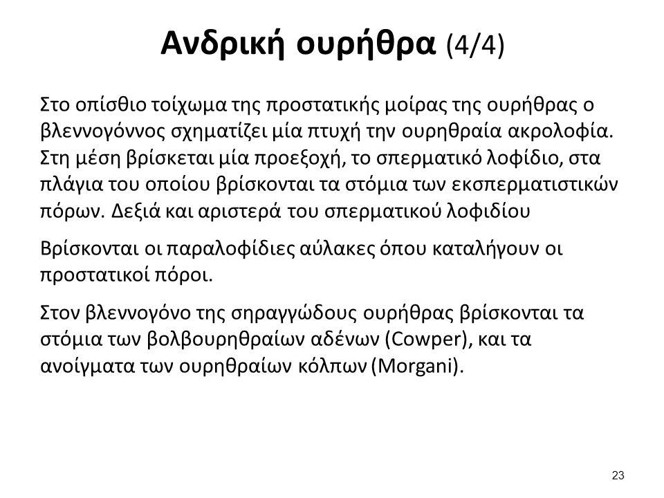 Γυναικεία ουρήθρα 3-4 εκ., αποχέτευση ούρων.