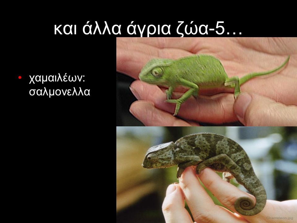 και άλλα άγρια ζώα-5… χαμαιλέων: σαλμονελλα