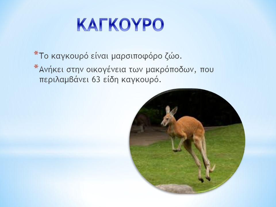 ΚΑΓΚΟΥΡΟ Το καγκουρό είναι μαρσιποφόρο ζώο.