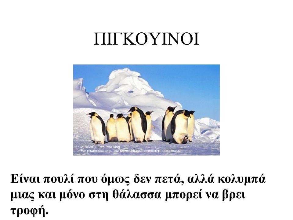ΠΙΓΚΟΥΙΝΟΙ Η φωτογραφία βρέθηκε στην ιστοσελίδα www.webshots.com/animal/penguins.