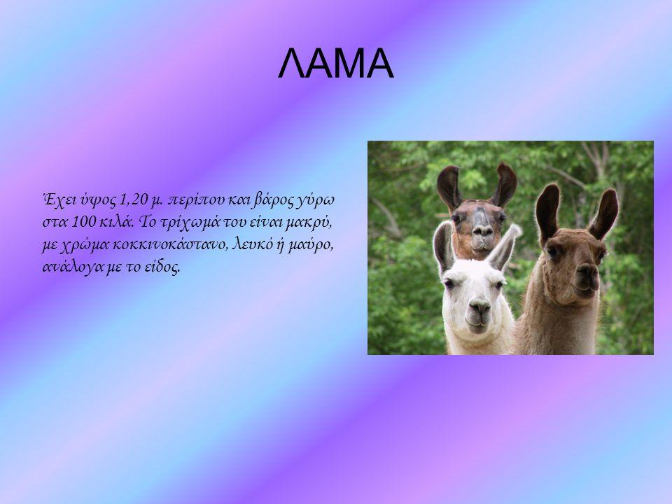 ΛΑΜΑ Έχει ύψος 1,20 μ. περίπου και βάρος γύρω στα 100 κιλά.