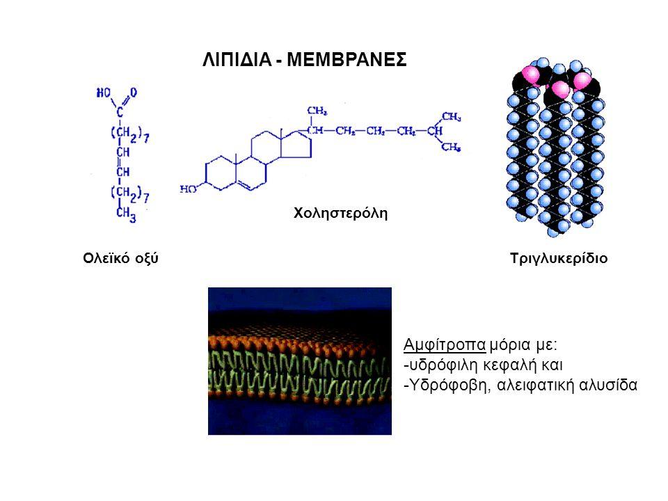 ΛΙΠΙΔΙΑ - ΜΕΜΒΡΑΝΕΣ Αμφίτροπα μόρια με: υδρόφιλη κεφαλή και
