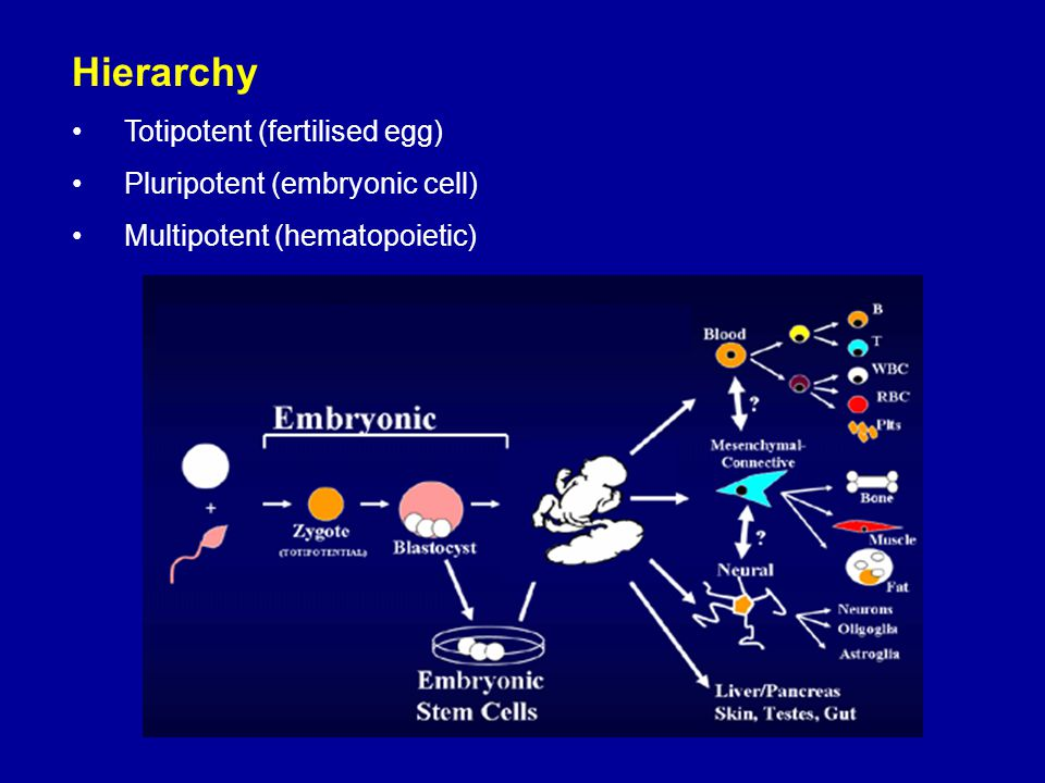 Hierarchy Totipotent (fertilised egg) Pluripotent (embryonic cell)