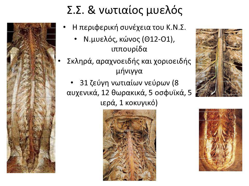 Σ.Σ. & νωτιαίος μυελός Η περιφερική συνέχεια του Κ.Ν.Σ.