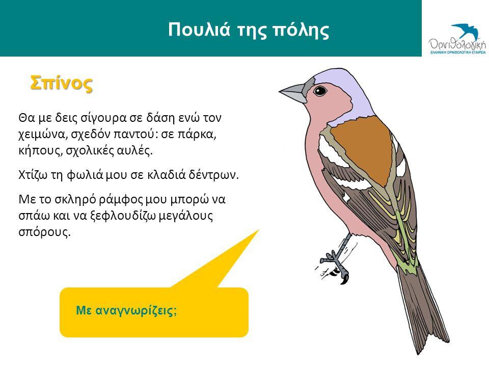 Πουλιά της πόλης Σπίνος