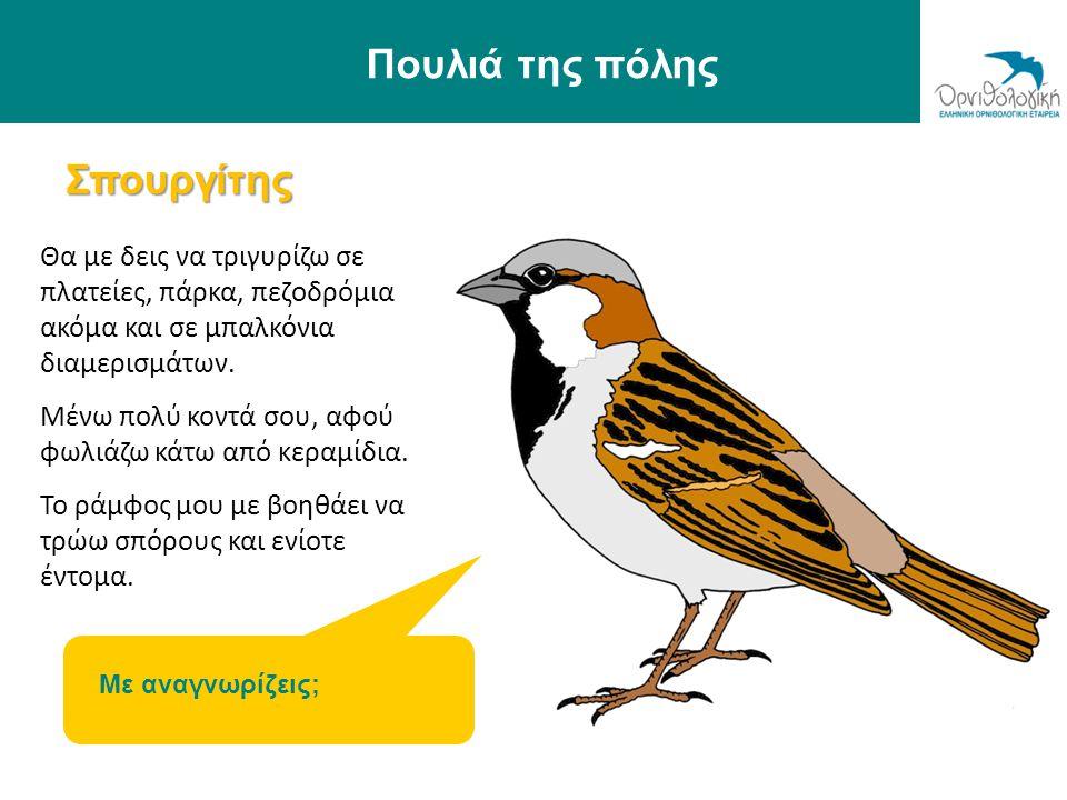Πουλιά της πόλης Σπουργίτης