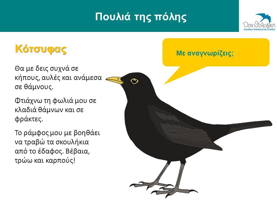 Πουλιά της πόλης Κότσυφας