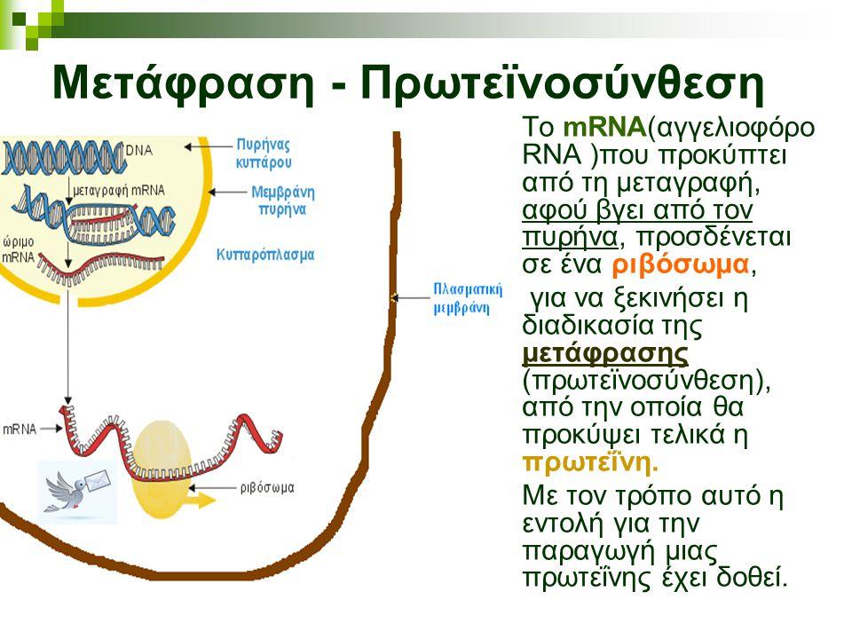 Μετάφραση - Πρωτεϊνοσύνθεση