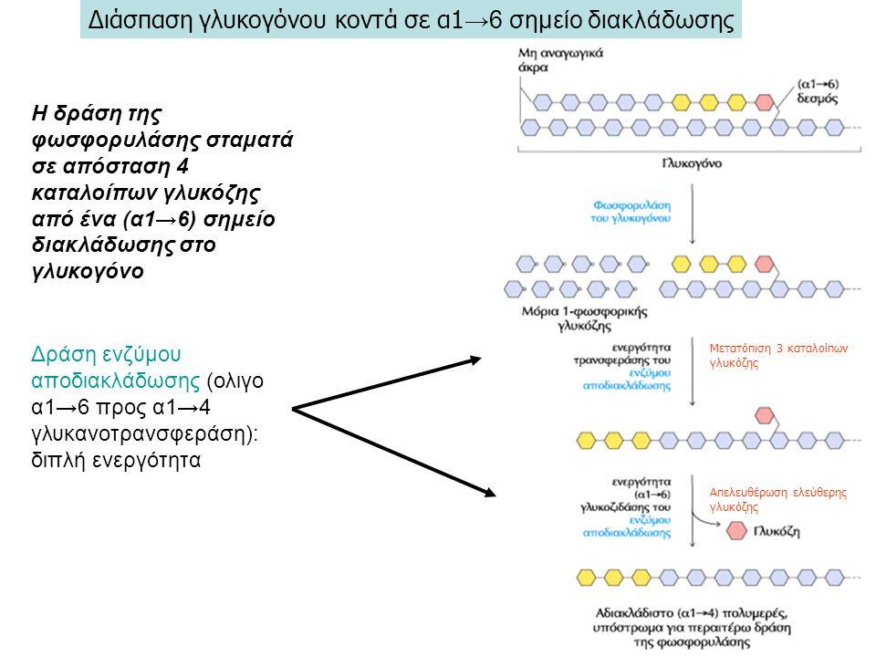 Διάσπαση γλυκογόνου κοντά σε α1→6 σημείο διακλάδωσης