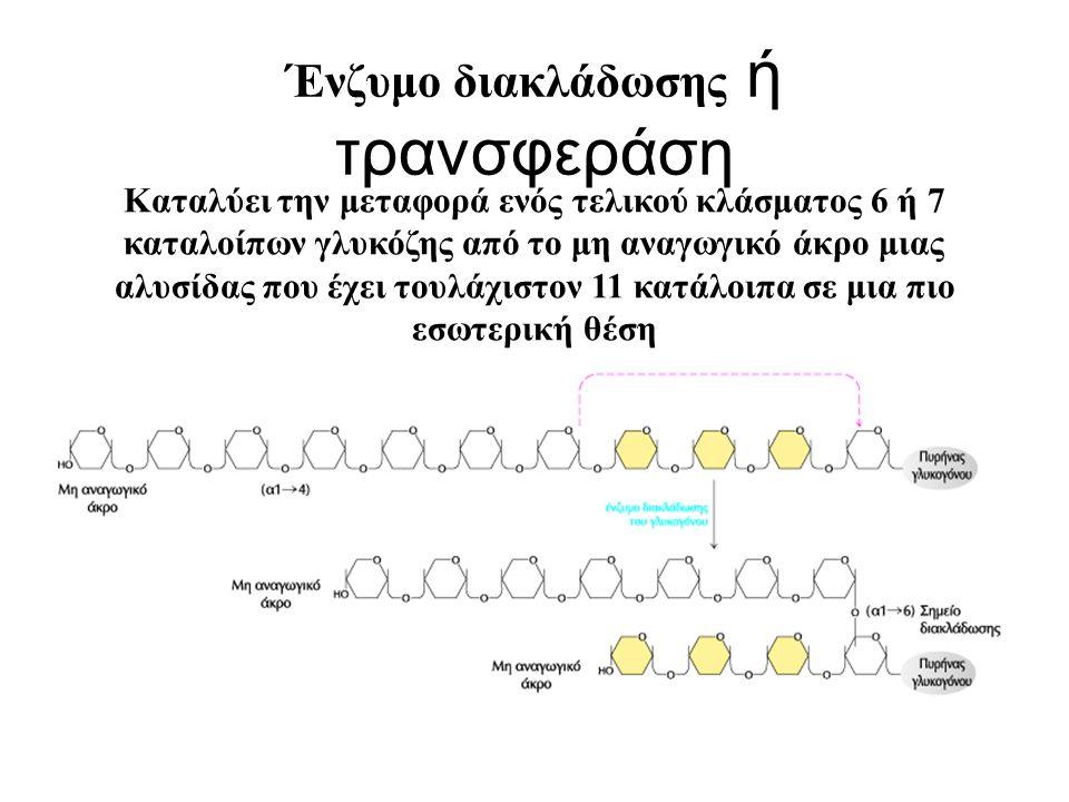 Ένζυμο διακλάδωσης ή τρανσφεράση