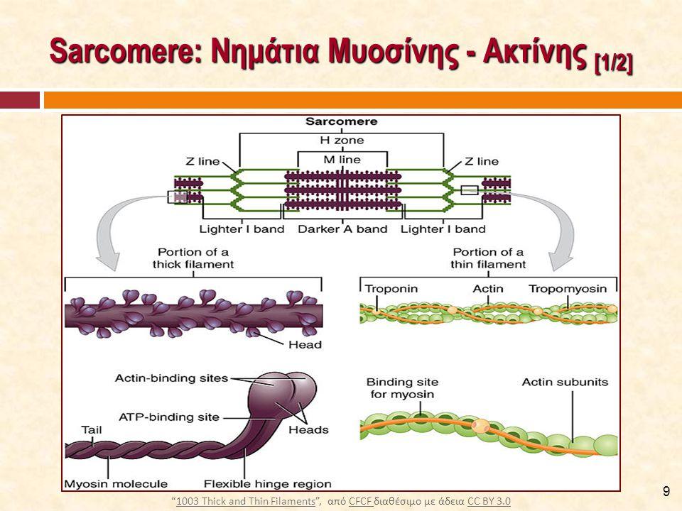 Σύνδεση Νηματίων Μυοσίνης - Ακτίνης