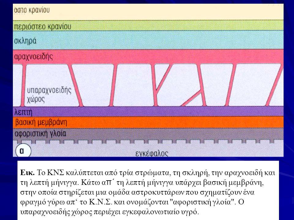 Εικ. Το ΚΝΣ καλύπτεται από τρία στρώματα, τη σκληρή, την αραχνοειδή και τη λεπτή μήνιγγα. Κάτω απ΄ τη λεπτή μήνιγγα υπάρχει βασική μεμβράνη, στην οποία στηρίζεται μια ομάδα αστροκυττάρων που σχηματίζουν ένα φραγμό γύρω απ' το Κ.Ν.Σ. και ονομάζονται αφοριστική γλοία . Ο υπαραχνοειδής χώρος περιέχει εγκεφαλονωτιαίο υγρό.