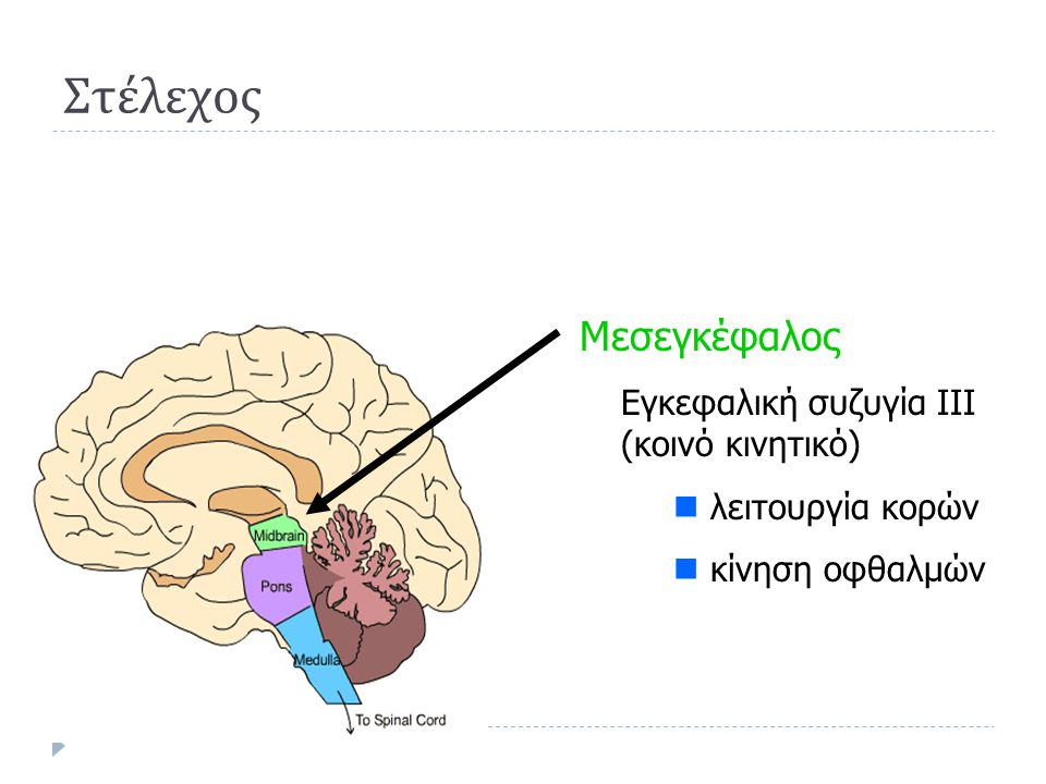 Στέλεχος Μεσεγκέφαλος Εγκεφαλική συζυγία III (κοινό κινητικό)