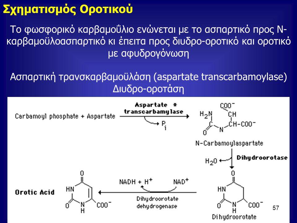 Ασπαρτική τρανσκαρβαμοϋλάση (aspartate transcarbamοylase)