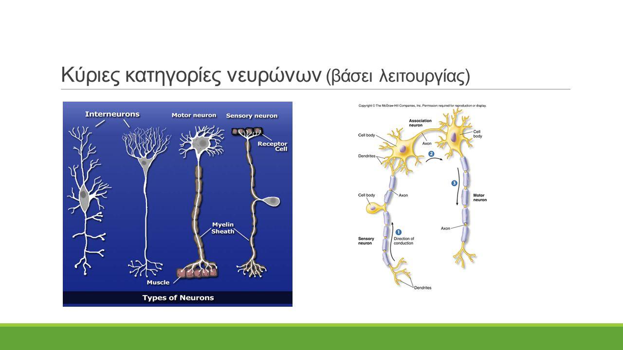 Κύριες κατηγορίες νευρώνων (βάσει λειτουργίας)
