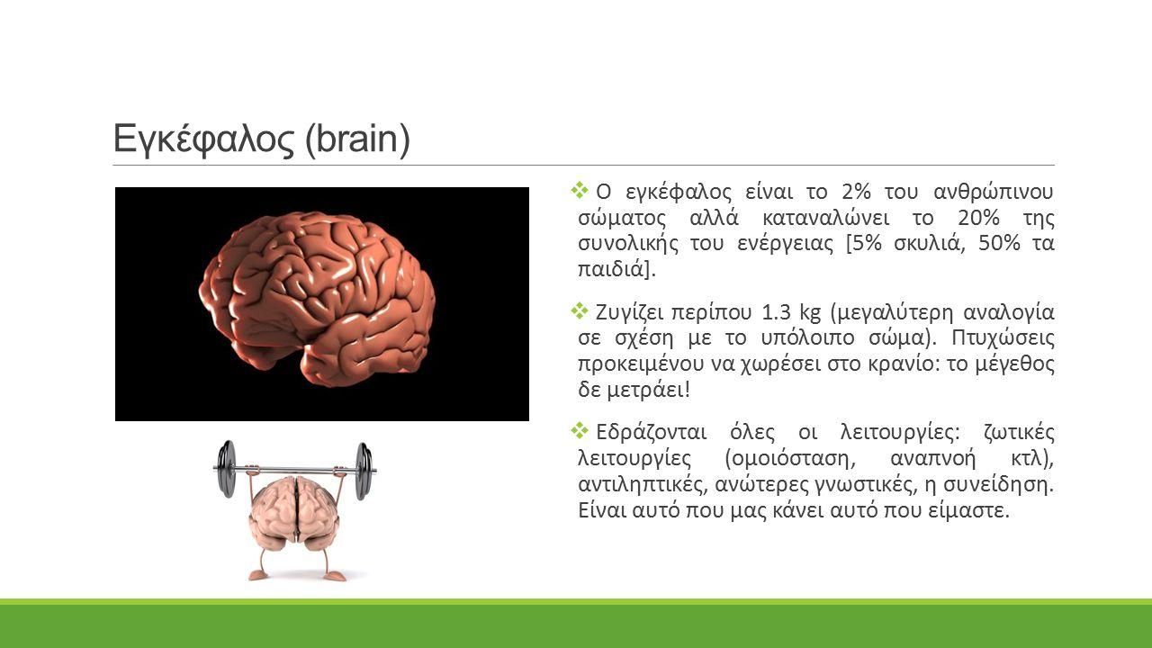 Εγκέφαλος (brain)