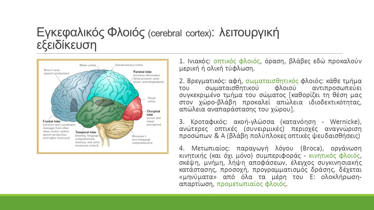 Εγκεφαλικός Φλοιός (cerebral cortex): λειτουργική εξειδίκευση