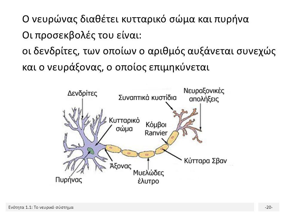 Ο νευρώνας διαθέτει κυτταρικό σώμα και πυρήνα