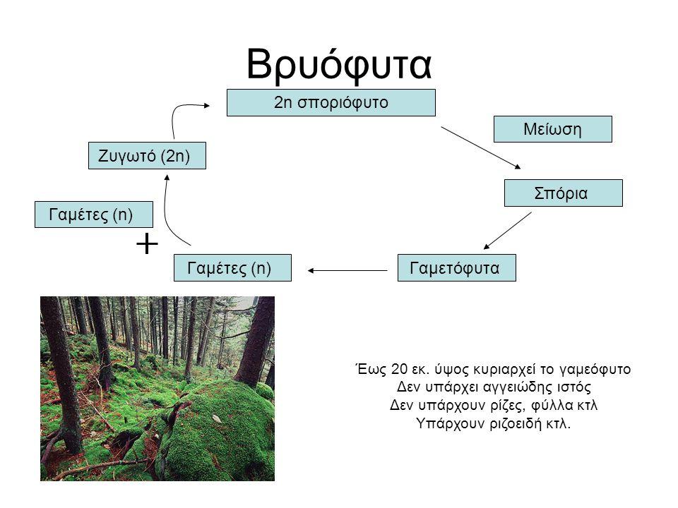 Βρυόφυτα 2n σποριόφυτο Μείωση Σπόρια Γαμετόφυτα Γαμέτες (n)