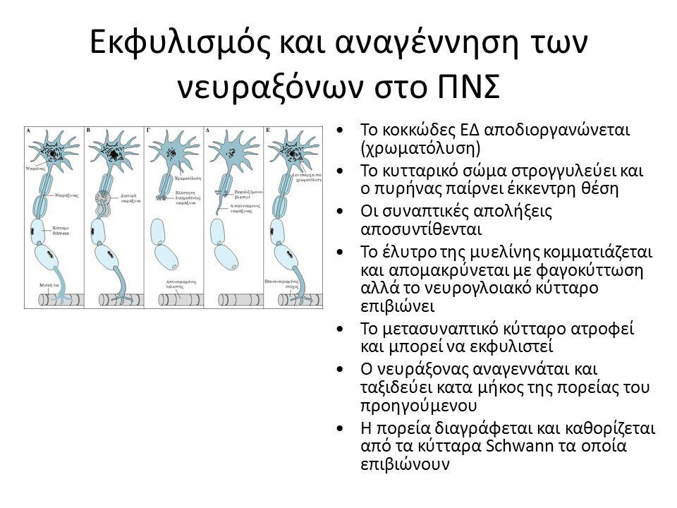 Εκφυλισμός και αναγέννηση των νευραξόνων στο ΠΝΣ