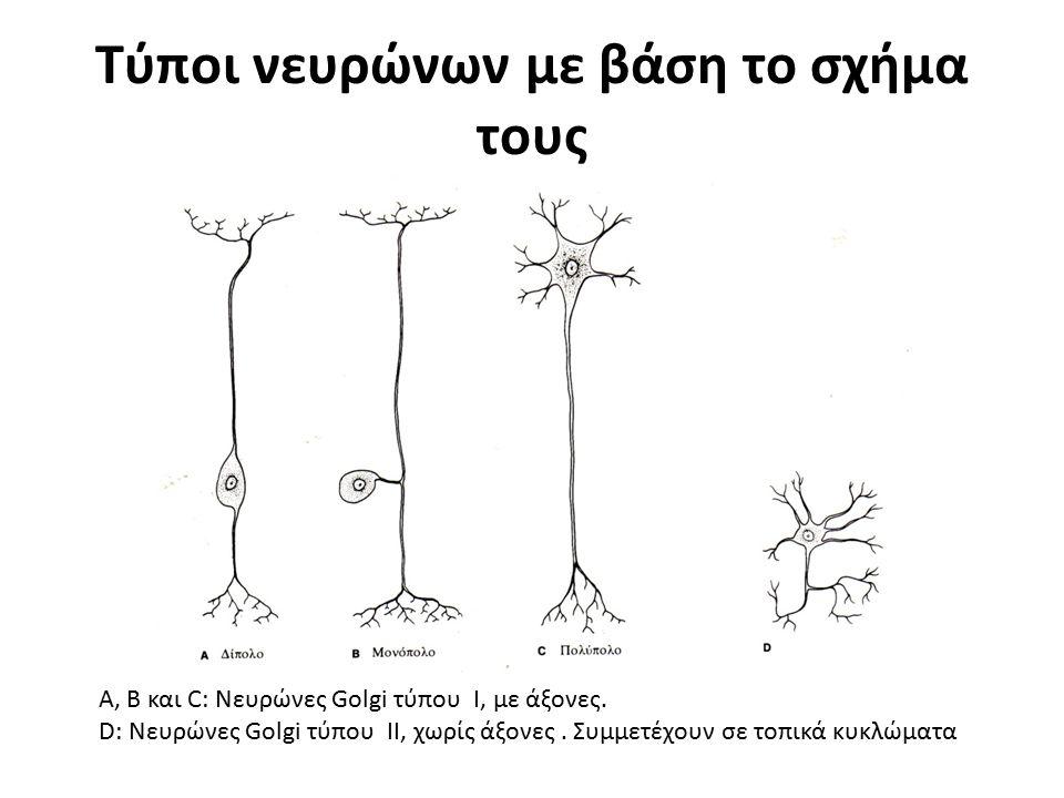 Τύποι νευρώνων με βάση το σχήμα τους