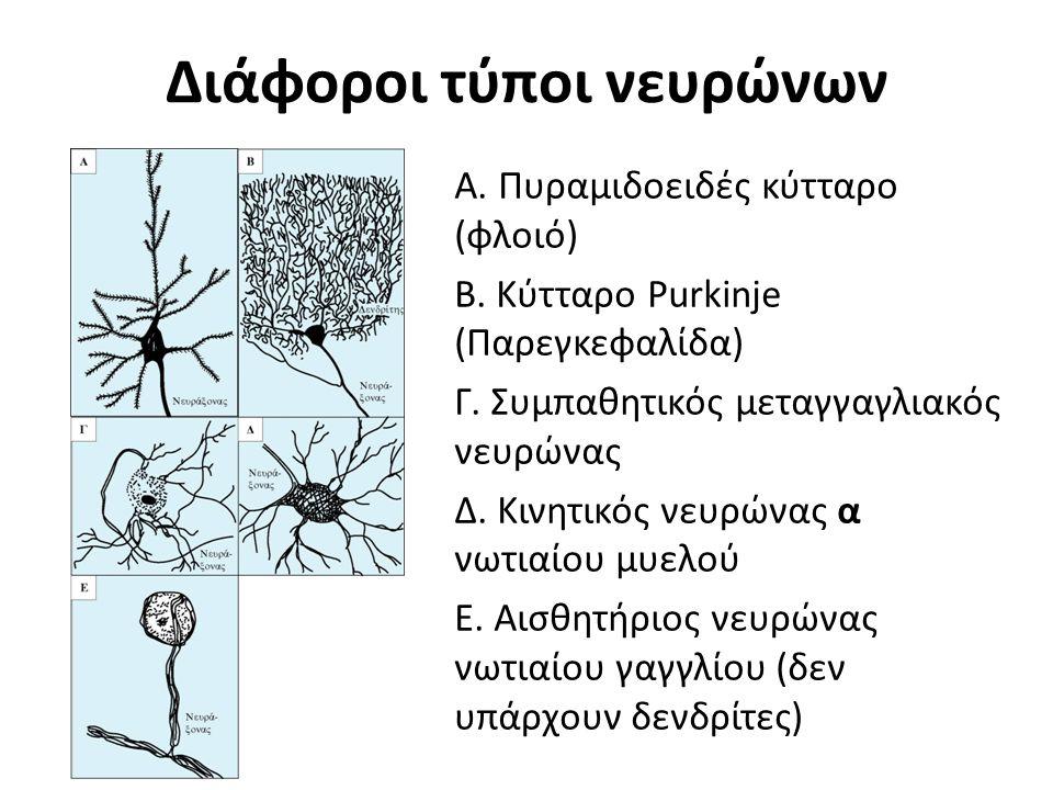 Διάφοροι τύποι νευρώνων