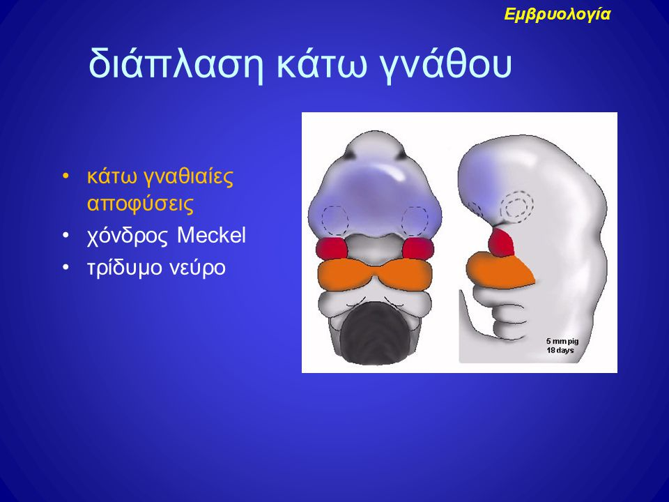 διάπλαση κάτω γνάθου κάτω γναθιαίες αποφύσεις χόνδρος Meckel