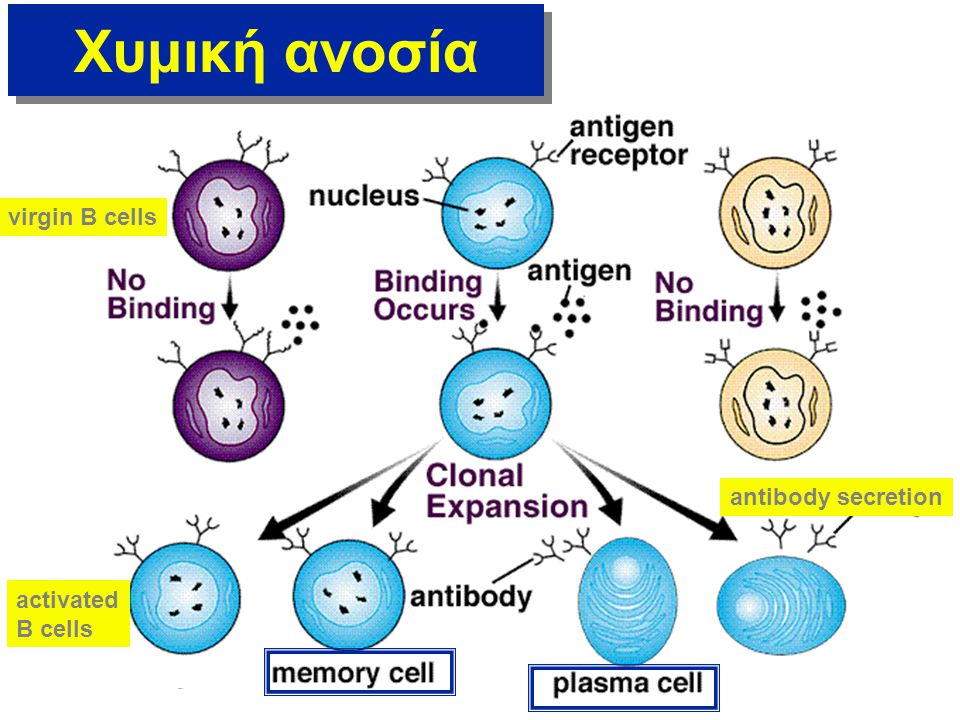 Χυμική ανοσία virgin B cells antibody secretion activated B cells