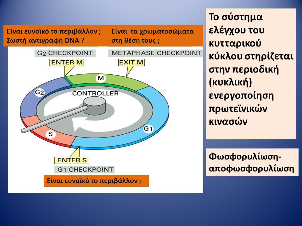 Το σύστημα ελέγχου του κυτταρικού κύκλου στηρίζεται