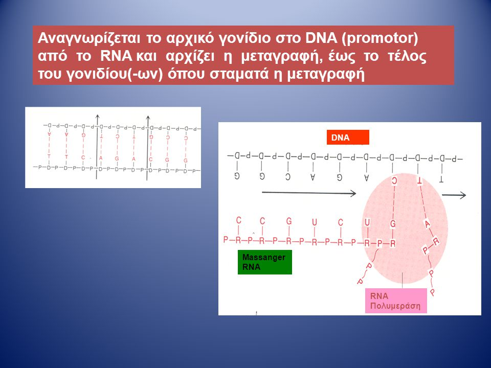 Αναγνωρίζεται το αρχικό γονίδιο στο DNA (promotor) από το RNA και αρχίζει η μεταγραφή, έως το τέλος του γονιδίου(-ων) όπου σταματά η μεταγραφή