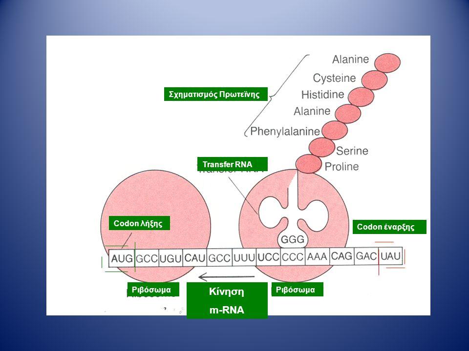 Κίνηση m-RNA Σχηματισμός Πρωτεϊνης Transfer RNA Codon λήξης