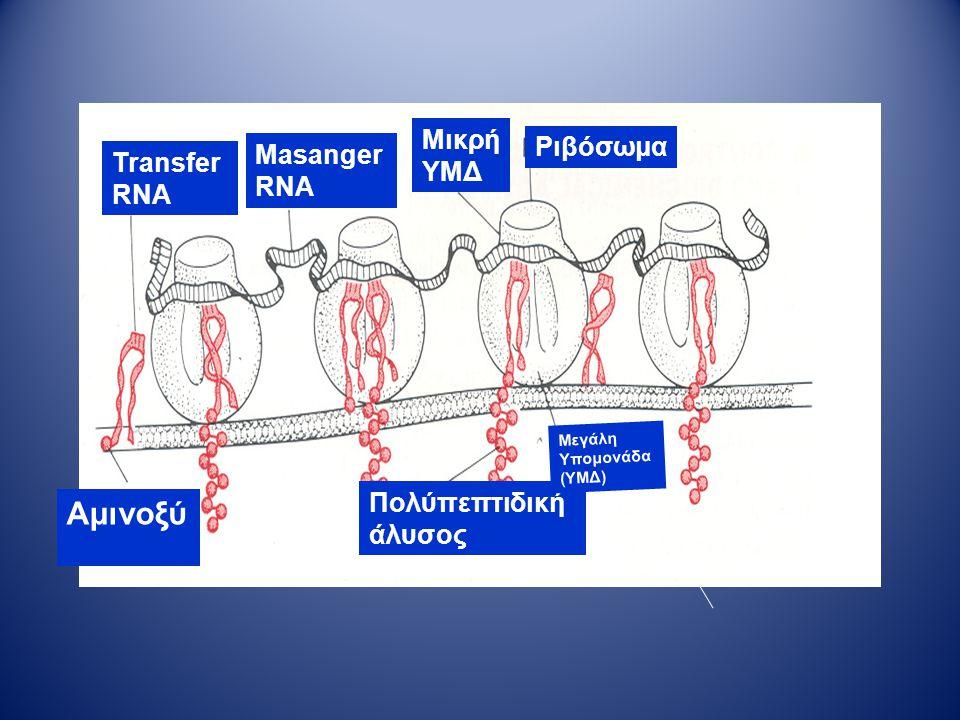 Αμινοξύ Μικρή ΥΜΔ Ριβόσωμα Masanger RNA Transfer RNA