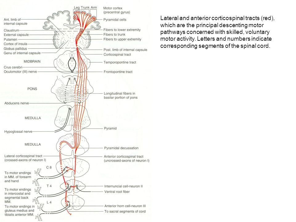 Lateral and anterior corticospinal tracts (red), which are the principal descenting motor pathways concerned with skilled, voluntary motor activity. Letters and numbers indicate corresponding segments of the spinal cord.
