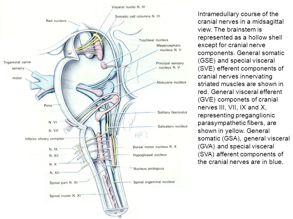Intramedullary course of the cranial nerves in a midsagittal view
