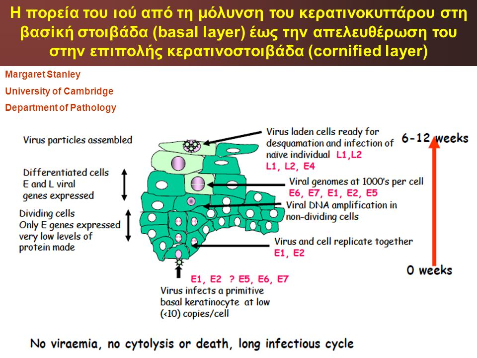 Η πορεία του ιού από τη μόλυνση του κερατινοκυττάρου στη βασiκή στοιβάδα (basal layer) έως την απελευθέρωση του στην επιπολής κερατινοστoιβάδα (cornified layer)