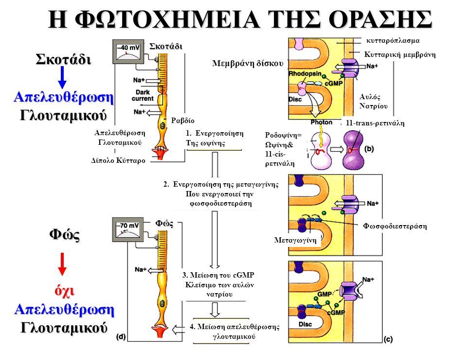 2. Ενεργοποίηση της μεταγωγίνης