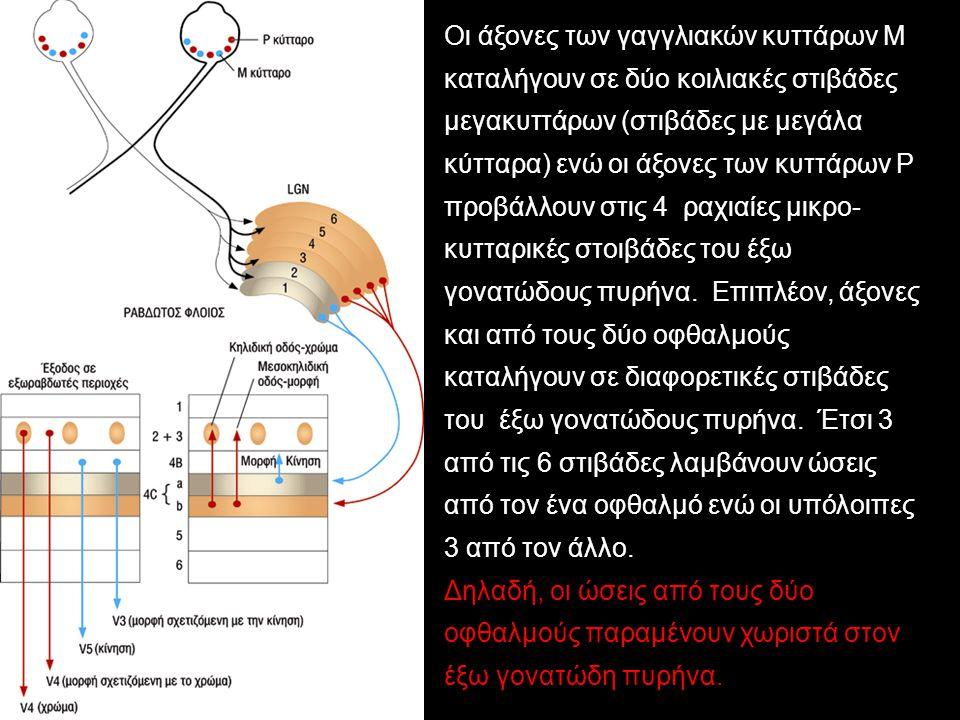 Οι άξονες των γαγγλιακών κυττάρων Μ