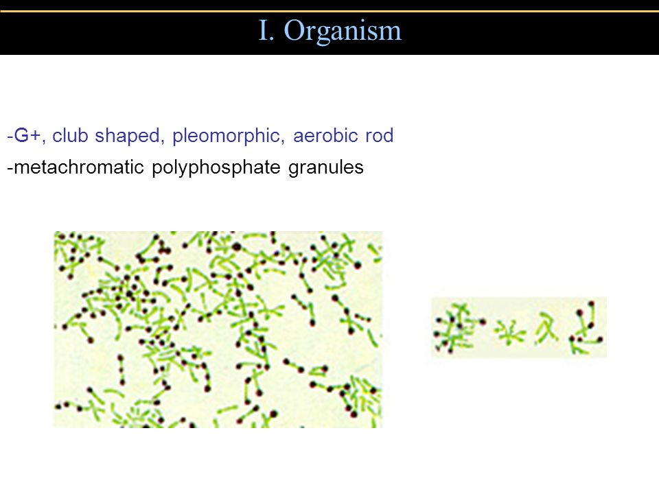 I. Organism -G+, club shaped, pleomorphic, aerobic rod