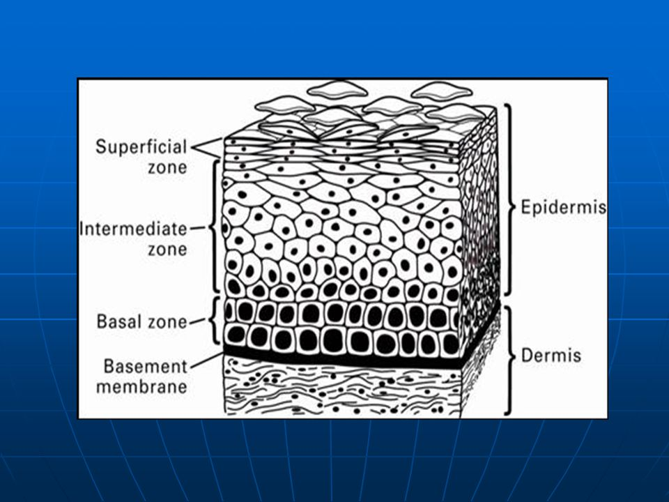 Schematic Representation of Normal Stratified Squamous EpitheliumThe process of epithelial differentiation and cell turnover (in which basal stem cells give rise to daughter cells that ultimately reach the surface of the epithelium as mature keratinocytes) takes several weeks.