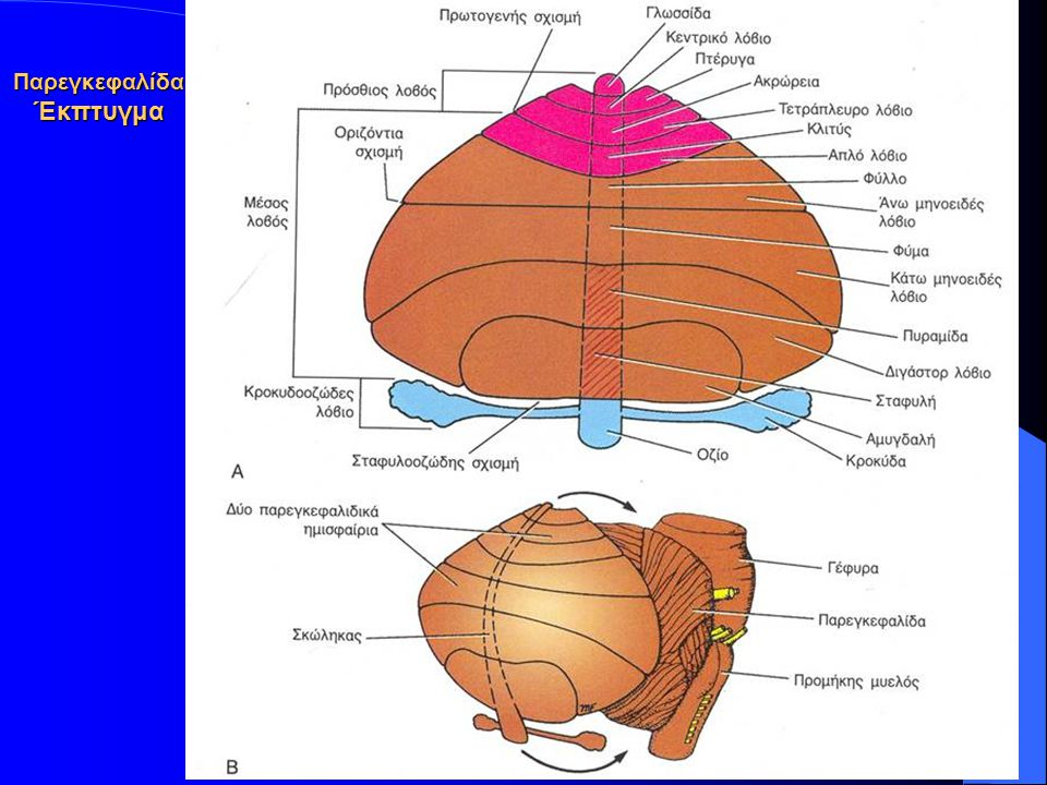 Παρεγκεφαλίδα Έκπτυγμα