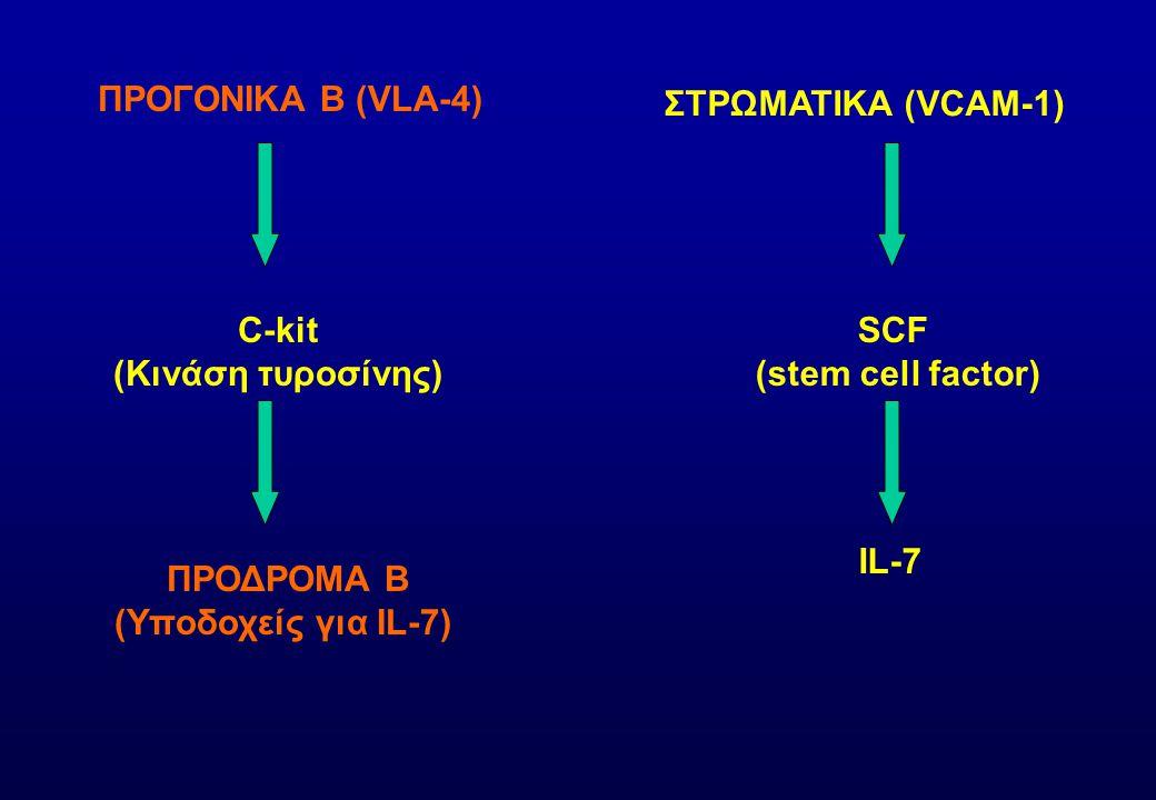 ΠΡΟΓΟΝΙΚΑ Β (VLA-4) ΣΤΡΩΜΑΤΙΚΑ (VCAM-1) C-kit. (Κινάση τυροσίνης) SCF. (stem cell factor) ΠΡΟΔΡΟΜΑ Β.