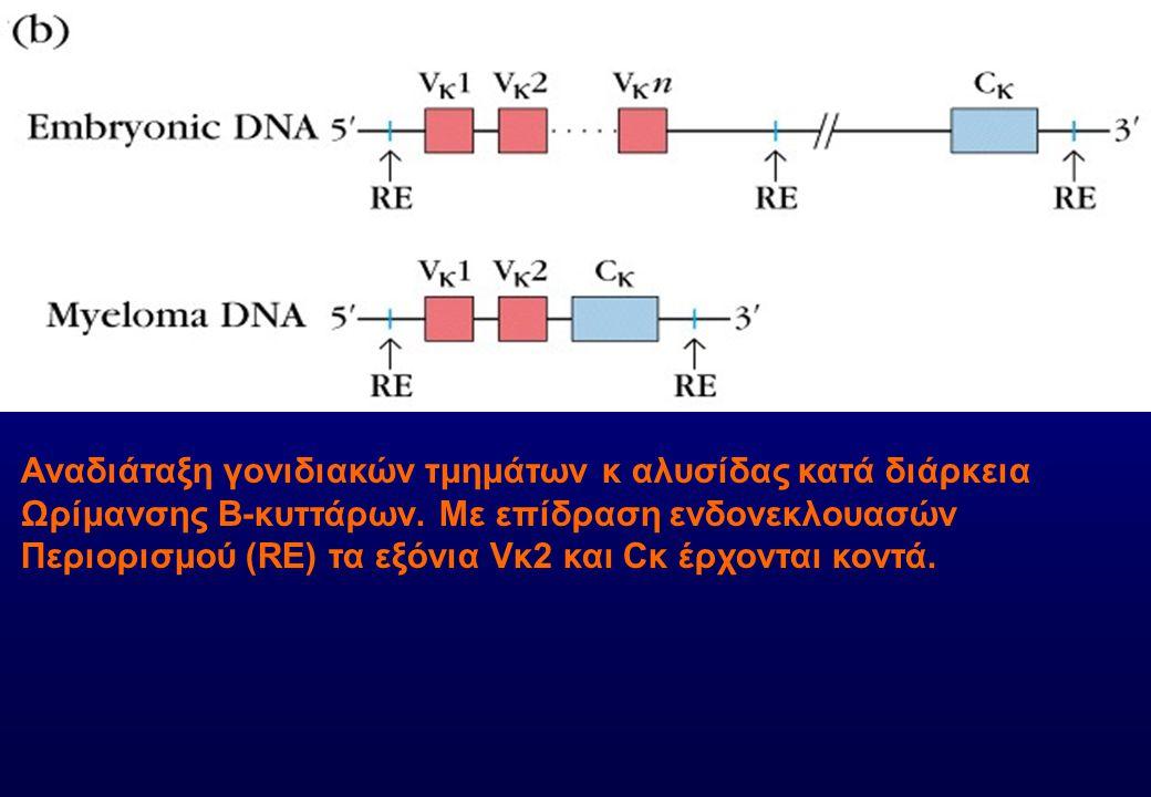 Αναδιάταξη γονιδιακών τμημάτων κ αλυσίδας κατά διάρκεια